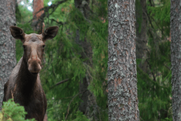 swedish-moose