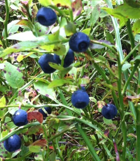 Swedish blueberries