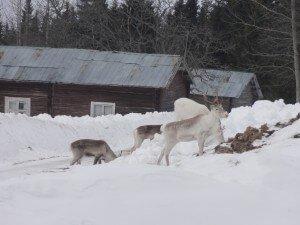 Reindeer in Norrland