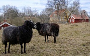 Black sheep in Sweden