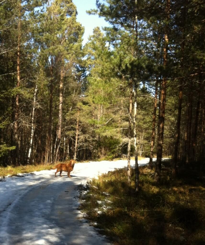 The narrow timber road is covered with ice in Sweden