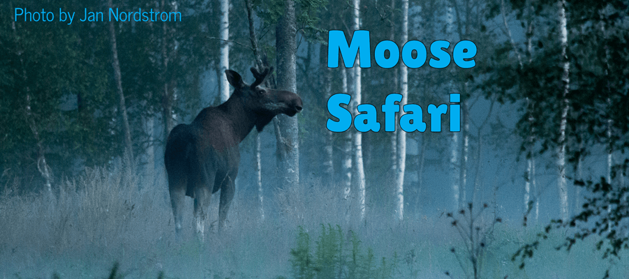 Moose Safari